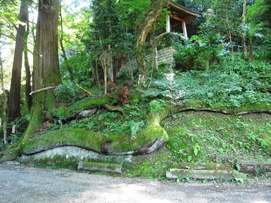 蛇木杉,石老山