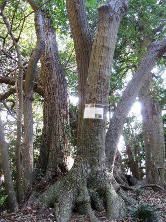 神武寺の菩提樹