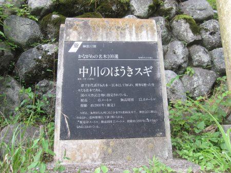 中川の箒杉